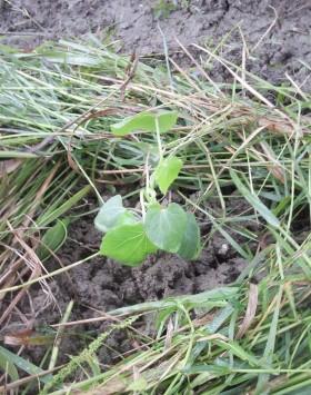 オクラの苗を植えました!